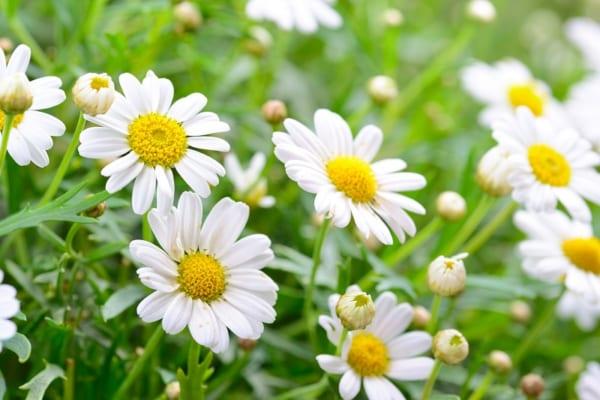 Trà hoa cúc, trà thảo dược Arlo thanh nhiệt, giải độc, mát gan