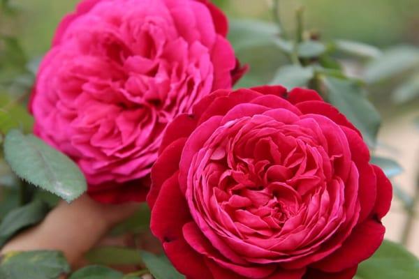 Tác dụng của trà thảo mộc hoa hồng với sức khỏe