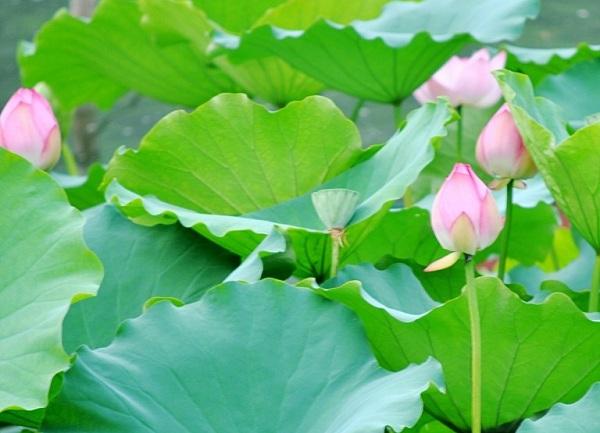 trà giảm cân từ lá sen tươi